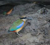 Mangrove pitta, Pulau Indah