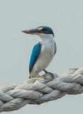 Mangrove kingfisher, Pulau Indah