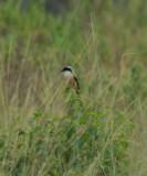 long tailed shrike, Pulau Indah