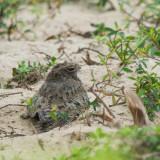 Savanna nightjar, Pulau Indah