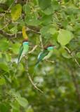Blue throated bee eaters, Pulau Indah