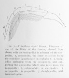 Reconstruction of Triarthrus biramous appendage by Raymond (1920).