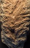 Cruziana omanicus, Cambrian, Huqf, Oman. Width of trace 4 cm.
