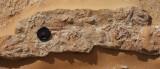 Cruziana omanicus, Cambrian, Huqf, Oman. Width of traces about 4 cm.