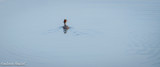 Great Crested Grebe, Attenborough Nature Reserve.jpg
