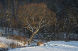 Streamside Hickory in Snow