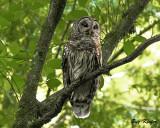 Barred Owl in a Dogwood