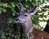 Velvet Buck in May