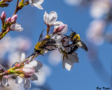 Bumble Bees in the Cherry Blossoms