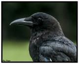 Proud Crow