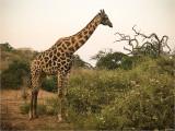Safari at Sunrise