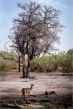 Lone Waterbuck