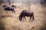 Wildebeest, Not Migrating...