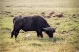 Cape Buffalo At Sunset