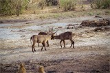 Playful Waterbuck & Audience