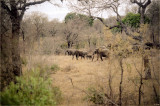 Big Bull Elephant, And His Family, On The Move