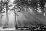 PACIFIC NORTHWEST COASTAL FOREST SUNRISE