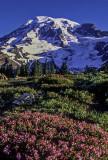 Heather, Paradise Meadow, Mount Rainier National Park, WA