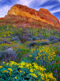 Brittlebush, mexican gold poppies, and coulters lupines, Organ Pipe Cactus National Monument, AZ