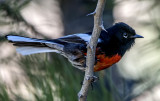 Painted Redstart, Mingus Mountain, Yavapai County, AZ