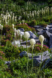 Beargrass, Mt. Rainier National Park, WA