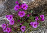 Bigelow Monkey Flower, Anza Borrego State Park, CA