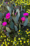 Beavertail Cactus, Anza Borrego Desert State Prk, CA