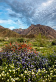Chuparosa, Phacelia, and Brown-eyed Primrose, Anza Borrego Desert State Park, CA