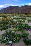 Desert Gold Sunflower, Desert Sand Verbena, Desert Primrose, Anza Borrego Desert State Park, CA