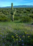 Saguaro, Yellow Cups, and Phacelia,  Alamo Lake State Park, AZ