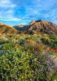 Super bloom in Anza Borrego Desert State Park, CA