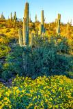 Saguaros and Brittlebush, Lake Pleasant Regional Park, AZ
