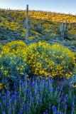 Saguaros  Brittlebush, and Lupines at Lake Pleasant Regional Park, AZ