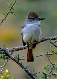 Ash-throated Flycatcher, Pleasant Lake Regional Park, AZ