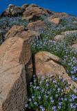 Gooding's Verbena, Cordes Lake, AZ