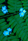 Forget-me-nots and fern frond, Ridges Sanctuary, WI