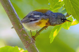 Northern Parula , Magee Marsh, Ohio