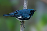 Black-throated Blue Warbler, Magee Marsh, Ohio