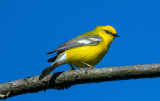 Blue-winged Warbler, Irwin Prairie, Ohio