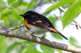 American Redstart, Magee Marsh, Ohio