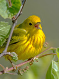 Yellow Warbler, Magee Marsh, Ohio