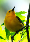 Prothonotary Warbler, Magee Marsh, Ohio