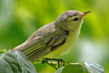 Red-eyed Vireo, Magee Marsh, OH
