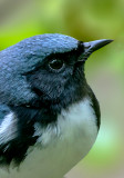 Black-throated Blue Warbler Portrait, Magee Marsh, OH