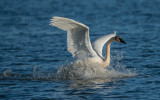 Trumpeter Swan landing, Ottawa National Wildlife Refuge, OH
