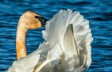 Trumpeter Swan close-up, Ottawa National Wildlife Refuge, Ohio