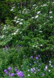 High Bush Cranberry and Phlox, Ridges Sanctuary, Door County, WI