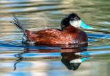 Ruddy Duck, Sedona Wetlands, Sedona, AZ