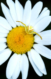 Oxeye Daisy  with Crab Spider, Ridges Sanctuary, Door County, WI