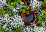 Pitcher Plant and  Reindeer Lichen at Eagle Point Bog, Campobello Roosevelt International Park, Canada/United States,